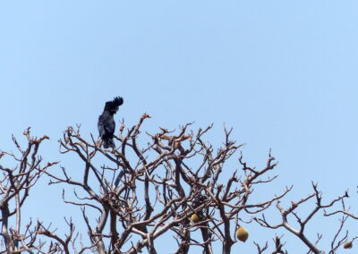 Black Kakadu