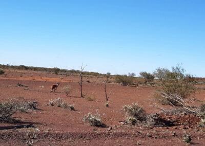 A kangaroo in a wide landscape near Carnegie Station, 340km East of Wiluna,