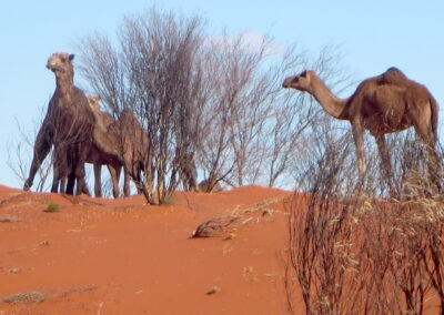 Camels on the Dunes on the Simpson Desert French Line