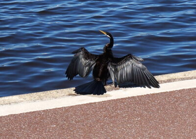 long neck cormorant, drying its feathers at the Swan River, Perth