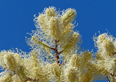 White Plume Grevillea in Kalbarri NP, WA,