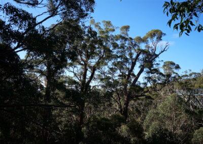 Tree Top Walk - Valley of the Giants, Denmark, Western Australia