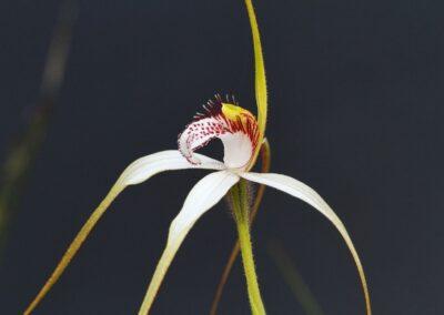 White Spider Orchid Western Australia